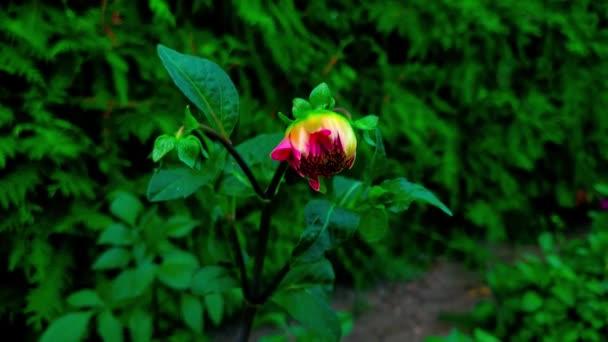 Detailní záběr nefoukaného květu Dahlia se houpe ve větru v zahradě.