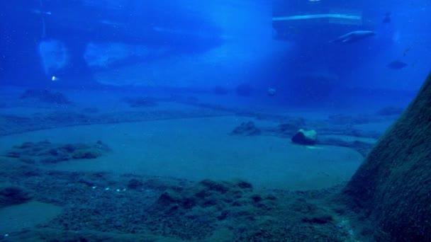 Dospělí tuleni plavou ve vodě. Rozostřeno.