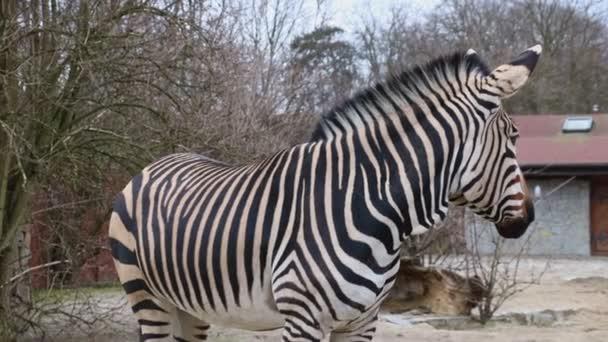Zblízka krásné dospělé zebry.