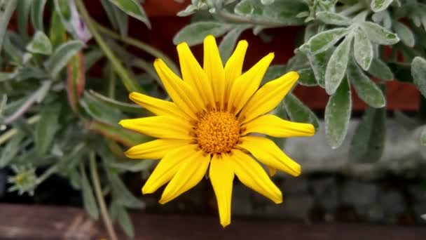 Close-up on a yellow blooming aster in the garden. The plant has antipyretic, anti-inflammatory, mucaltic properties