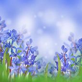 Fotografie Blue spring crocuses flowe