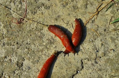 The European Red Slug is a shell-less terrestrial gastropod mollusc.Snail with lettuce leaf.
