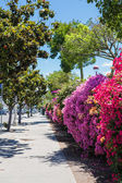Fotografie schöne bunte Bougainvillea Busch in Sonnenlicht auf die Stadt. Straße-Hintergrund