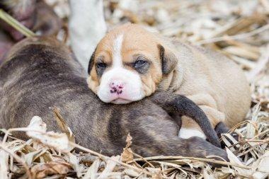 pitbull puppy dog