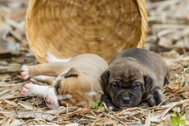 pit bull puppy dog