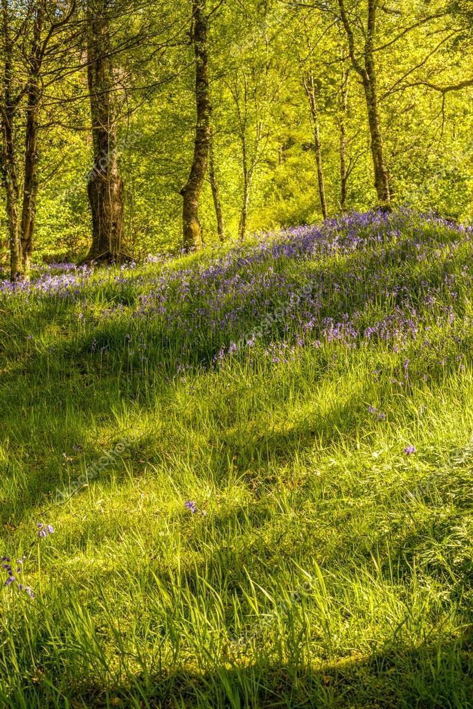 Фотообои Bluebell Flowers