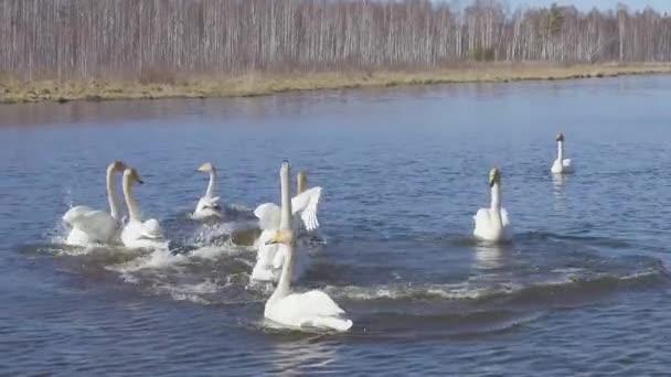 Russland, der Ural. Singschwäne auf dem offenen Wasser des Teiches. Lateinischer Name Cygnus cygnus. Balzspiele. Frühling
