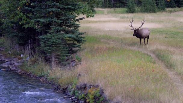 Vad bika jávorszarvas pihenés és gyűjtögetés egyedül prérin a folyóparton az erdő szélén őszi lombozat szezonban. Banff Nemzeti Park, Kanadai Sziklás-hegység. Alberta, Kanada.