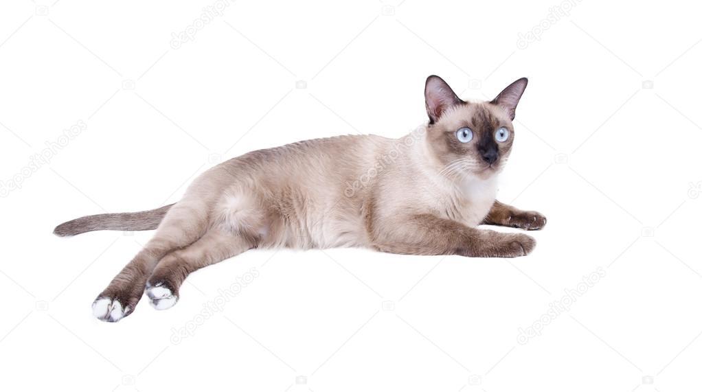 Kot Syjamski Kot Tajski Izolować Na Białym Tle Zdjęcie Stockowe