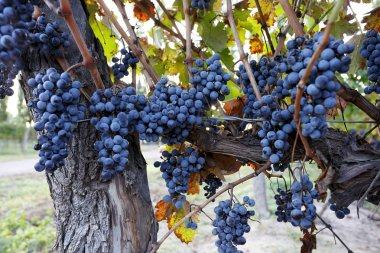 Beautiful bunches of grapes