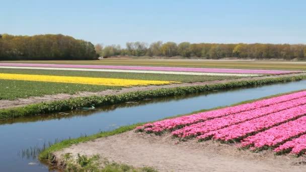Květinové pole poblíž Hillegom, Nizozemsko