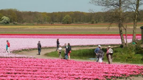 Turistů v oblasti růžové tulipány v Holandsku