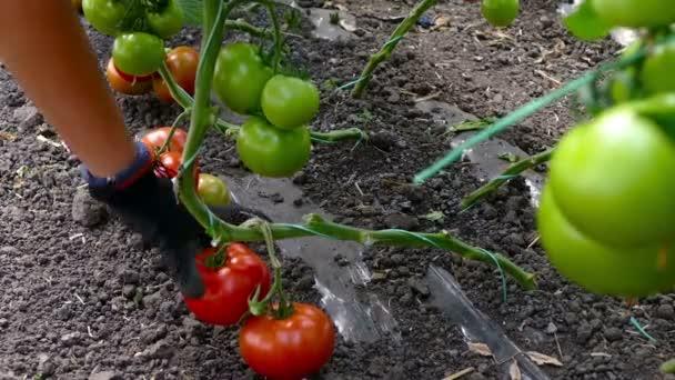Zöldségtermesztők figyelmébe pick paradicsom az üvegházban