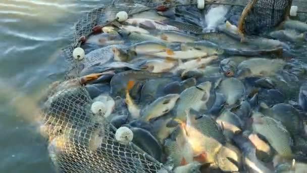 Komerční rybolov / Lov ryb na rybí farmě