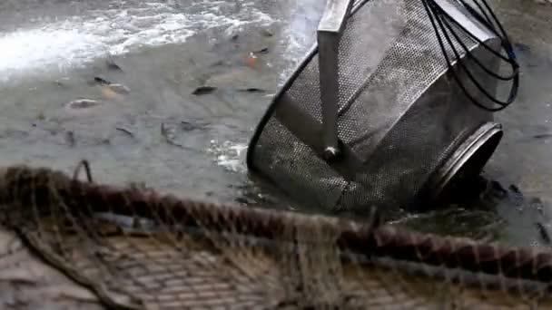 Sběr ryb v jezírku
