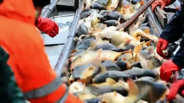 A sorban kiválasztott édesvízi halak