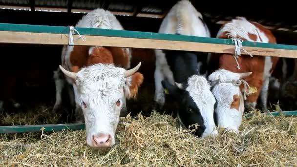 Milchkühe im Stall