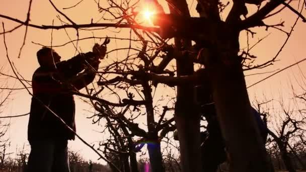 Ovoce pěstitel stříhat ovocné stromy