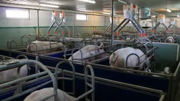 Farm for pig breeding