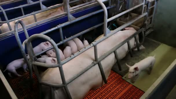 Piglets at a pig farm