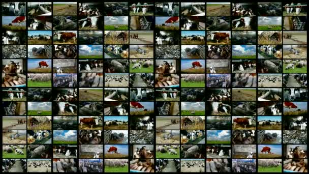 Cattle breeding-split screen