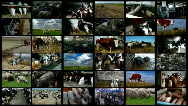 Livestock breeding- split screen