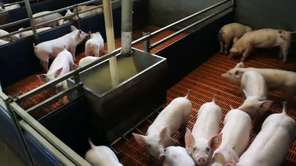 Piglets in the pen