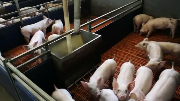 Piglets in the pen