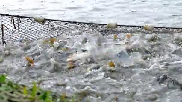 kapr ryb v rybníku