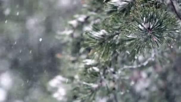 Snowflakes falling on pine tree