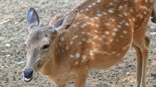 Sambar Deer (Cervus unicolour) in zoo (2 shot)