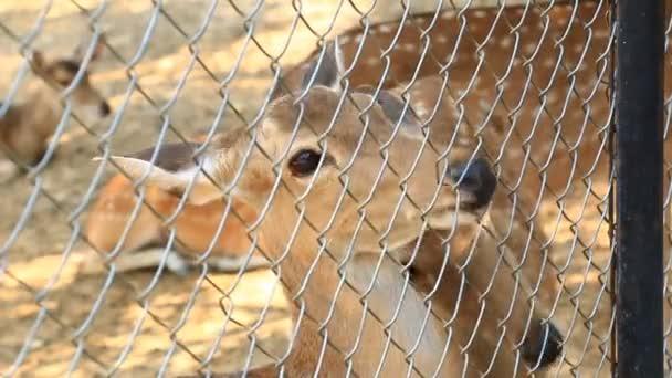 Lidé krmení do Sambar Deer (Cervus jednobarevné)