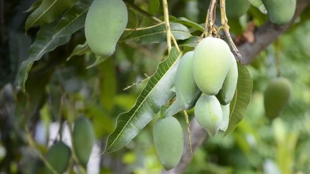 Raw Mango Bunch On Tree