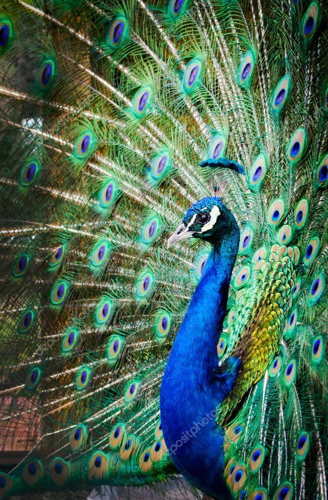 Pavo real con el precioso color — Foto de stock © kikoste ...