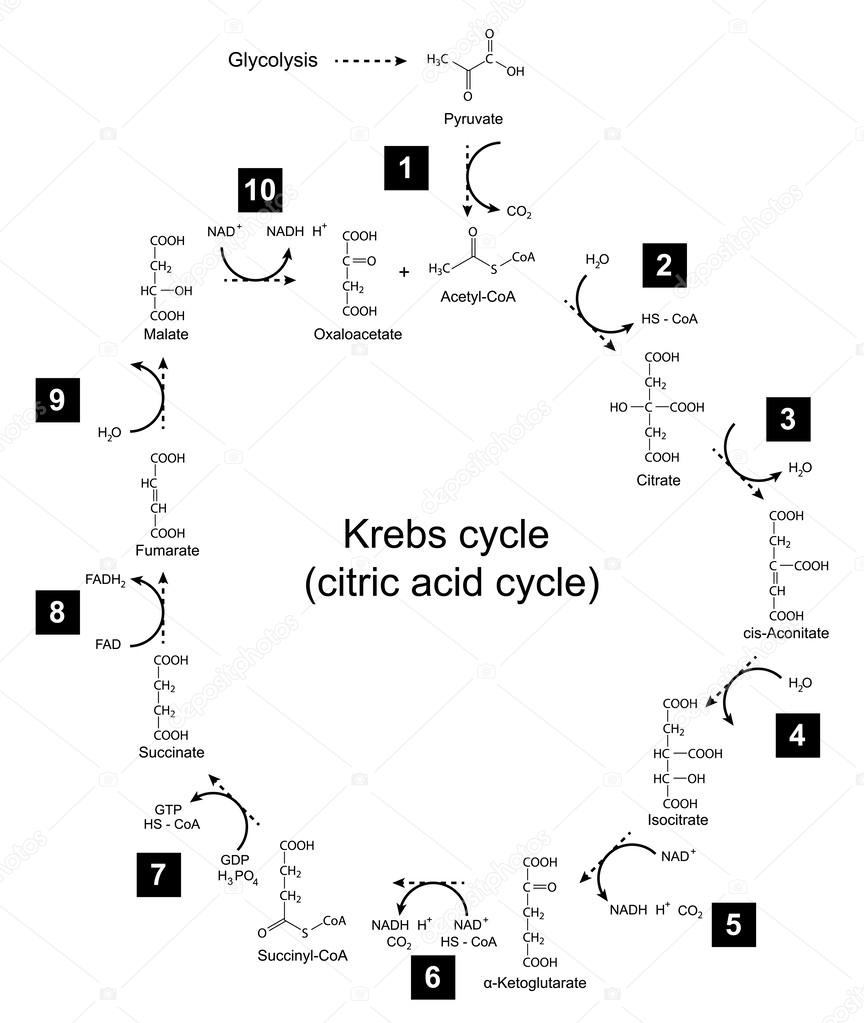 Illustration of krebs cycle tricarboxylic acid citric cycle chemical scheme of krebs cycle tricarboxylic acid citric cycle 2d illustration isolated on white background vector eps 8 vector by logos2012 pooptronica Image collections