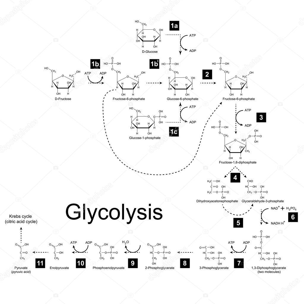 esquema qu u00edmica da via metab u00f3lica de glic u00f3lise  u2014 vetores