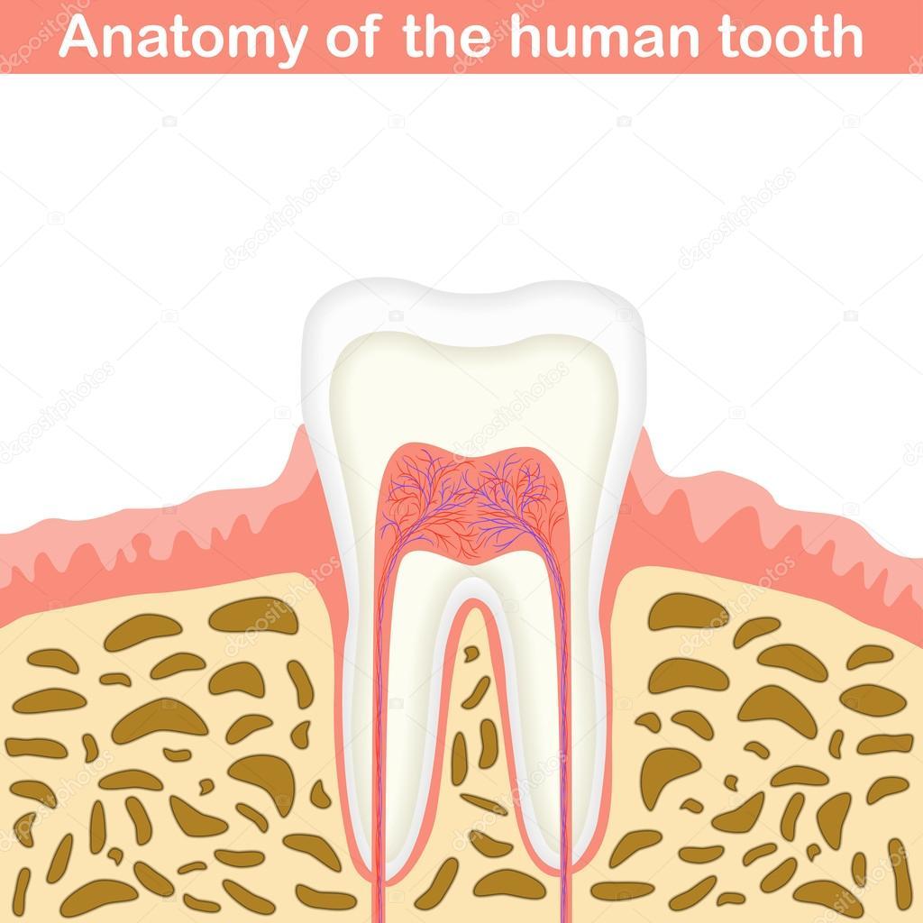 Anatomy of human tooth — Stock Vector © logos2012 #83541810