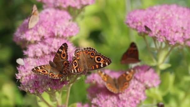 Beautiful buckeye butterflies