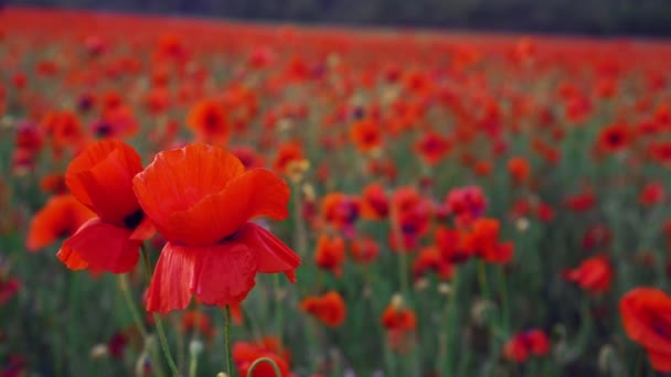 Red poppy is a symbol of both Remembrance and hope for a peaceful future. Poppies field