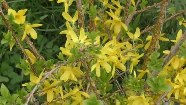 Yellow flowers Forsythia