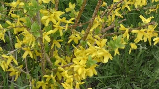 Yellow flowers Forsythia
