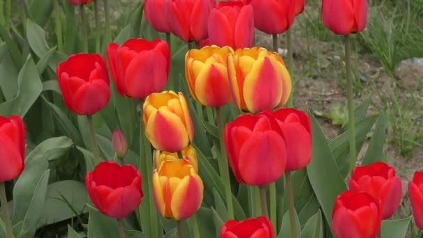 Tulip leng a szélben