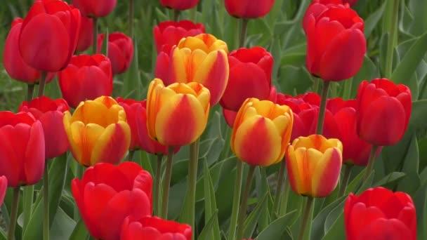 Tulipán houpe ve větru
