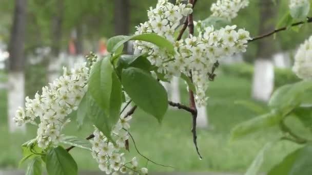 Bílé květy třešně ptačí strom