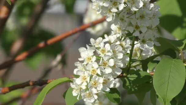 Květy třešně ptačí strom houpat ve větru