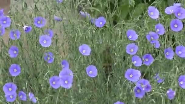 modrý květ lnu