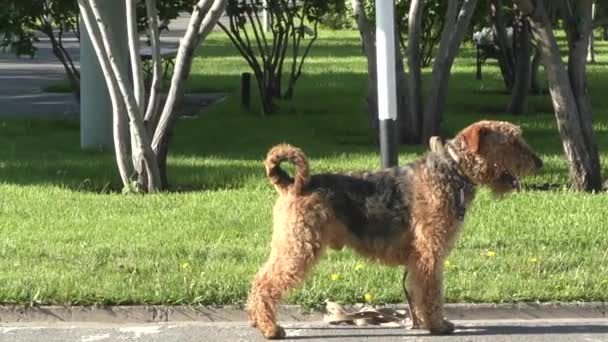 Dog breed Airedale terrier