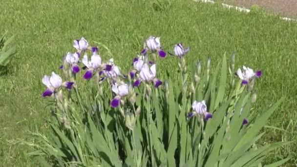 Flower of IRIS blue-blue color