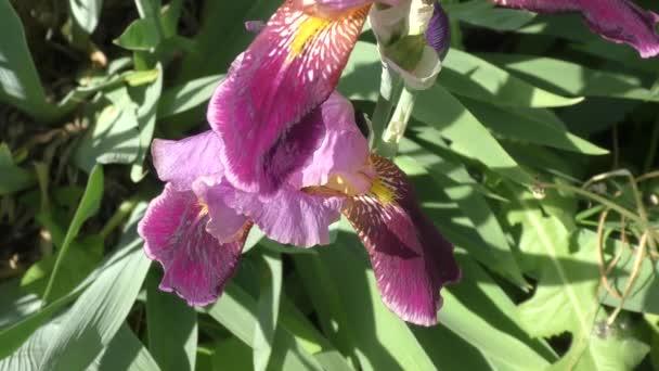 Flower of IRIS purple color