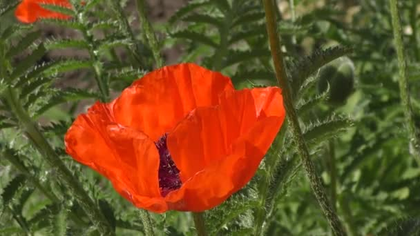 Flowers are red poppies